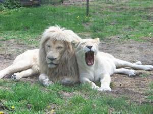 Zoo Bassin D'Arcachon, Les lions blancs